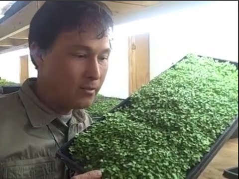 How to Grow a MicroGreens Vegetable Garden Year Round Inside