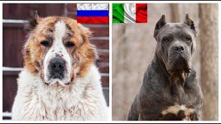 Top10 razas de perros mas poderosos de cada pais 2da parte