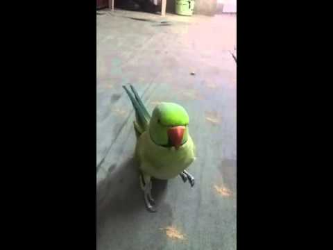 TALKING PARROT (BEAUTIFUL VOICE)