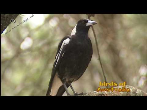 the sound of an australian magpie