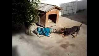 Schnauzer Vs American Pitbull Terrier Tricolor