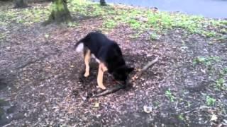 Собака пытается вырвать корень