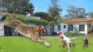 Leopard Hunts Dog Leopard Amazing Hunt Dog