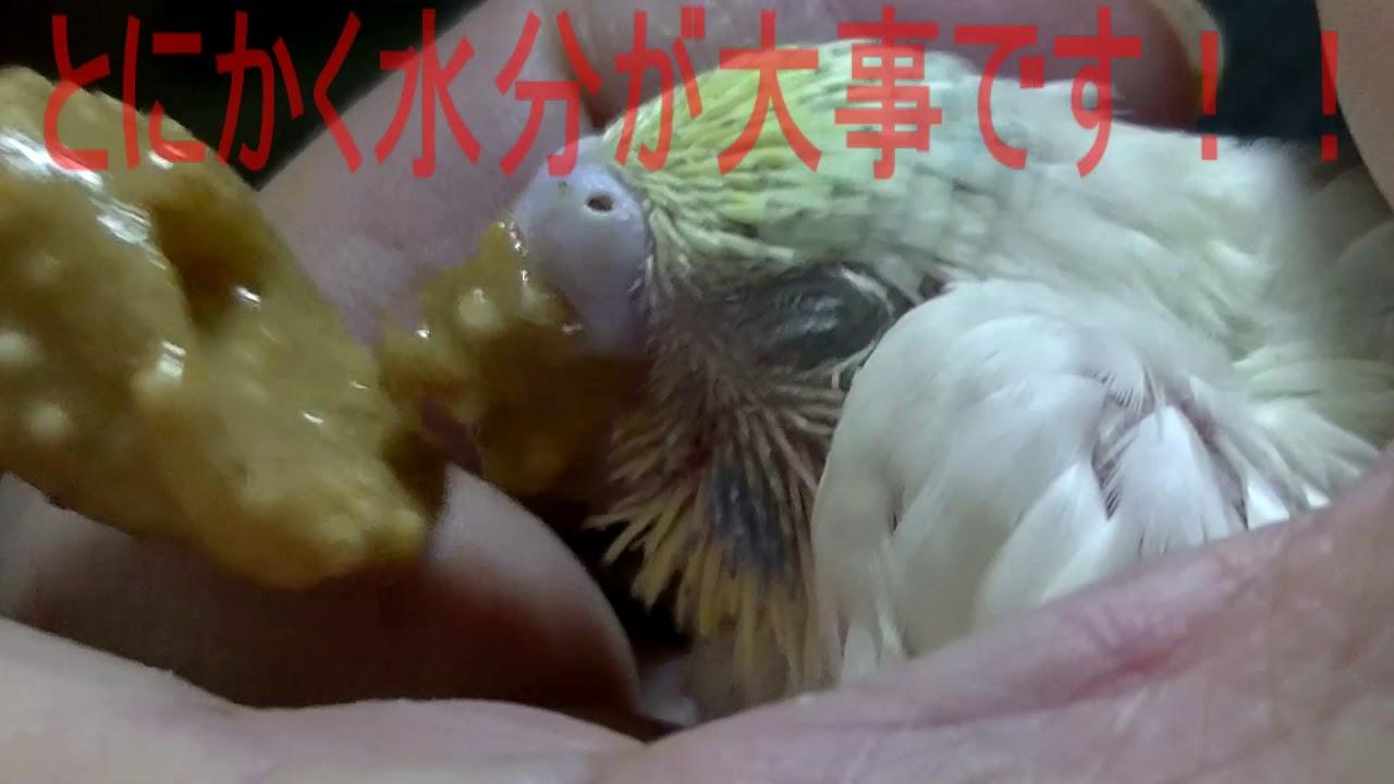 インコ 餌 セキセイ 雛