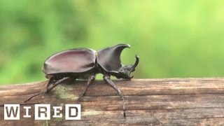 Brown Rhinoceros Beetle