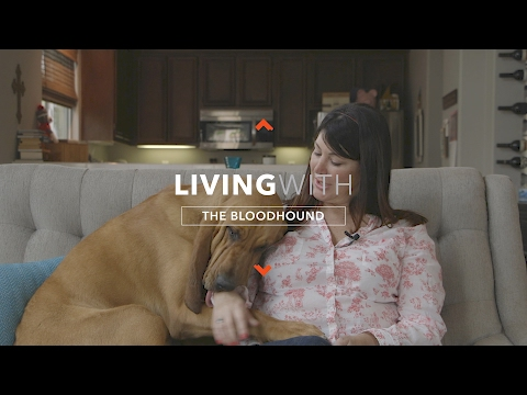 ALL ABOUT LIVING WITH BLOODHOUNDS