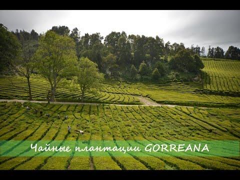 Азоры: Чайные плантации Gorreana / Azores: Gorreana Tea Plantations