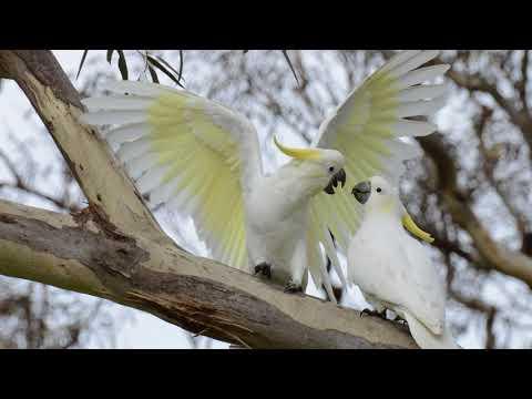 Голоса птиц Как поёт попугай Какаду (Cacatuidae)