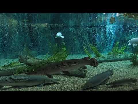 98 Atractosteus spatula Alligator gar platinum Zoo Singapore 2017