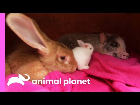 An Unexpected Friendship Between a Rabbit and a Micro Pig! | Too Cute!
