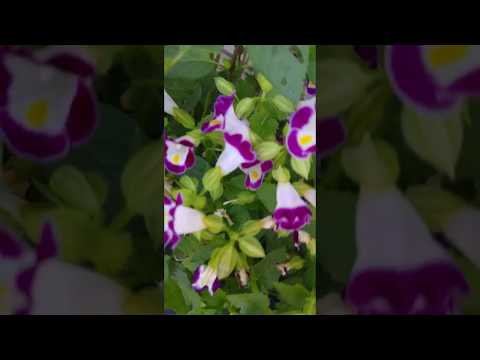 Torenia fournieri טורניה