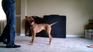 Vizsla Dog Training