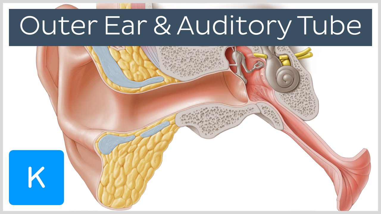 Outer ear and auditory tube (preview) - Human Anatomy ...
