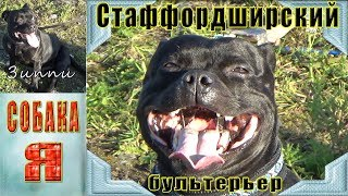 Стаффордширский Бультерьер ЗИППИ. Собаки. Выгул Собак. Staffordshire Bull Terrier