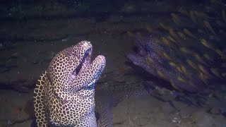 Moray Eel Launches Surprise Attack On Diver thumbnail