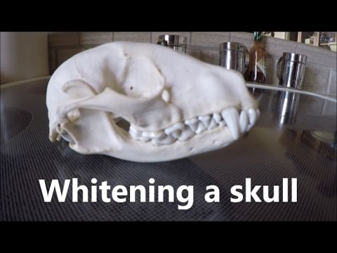 "Whitening a skull; How to ""bleach"" bones"