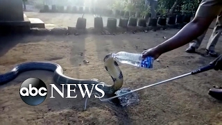 Thirsty cobra in India calmly accepts drink from villager