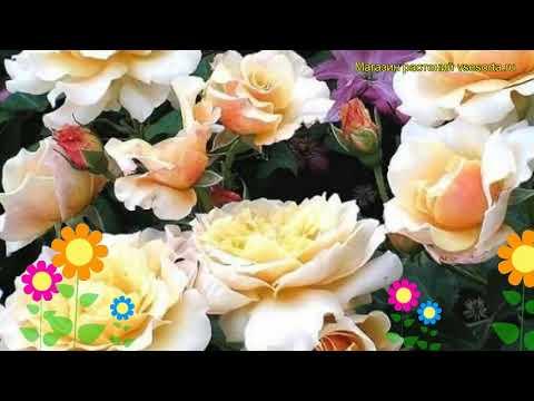 Роза кустовая Карамелла. Краткий обзор, описание характеристик, где купить саженцы Caramella