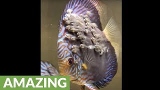 Male discus fish snatches baby fish from female
