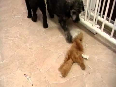 brown-standard-poodle-puppies