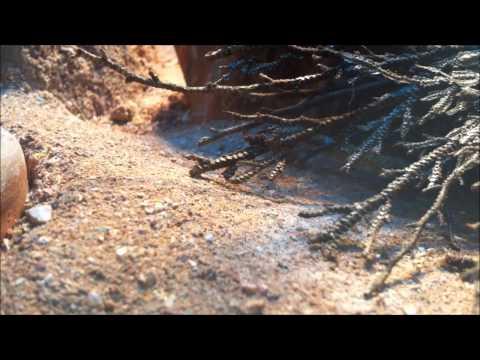 Tropiocolotes tripolitanus (Zwergwüstengecko) auf Wanderschaft