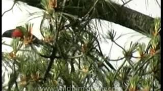 Scarlet Minivet on a Pine tree