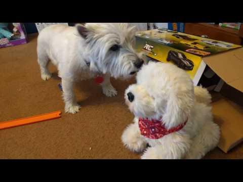 Westie Puppy VS Georgie the Interactive Puppy....so FUNNY!