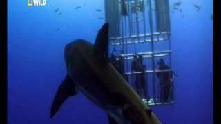 Шокирующие кадры! Нападение белой акулы на людей!