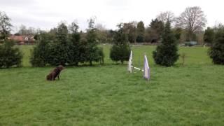 Scooby Springador fun agility sequence Positive dog training
