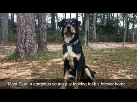 Adopted! Blue, Neutered Male, Husky Rottweiler mix, loyal and loving, Adoptable Dog