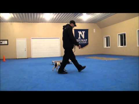 Lucy (French Bulldog) Dog Training Boot Camp Video
