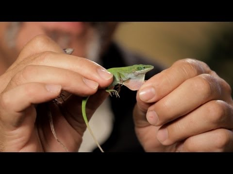 6 Cool Facts about Green/Brown Anoles | Pet Reptiles