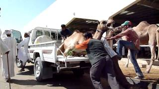 Loading a reluctant and noisy camel in Sinaw, Oman