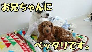 ミックス犬 みるくちゃん ヨークシャーテリア キャンディちゃん ミニチ...