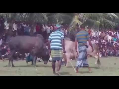 Cow Fight, Oxe Fight Very funny video