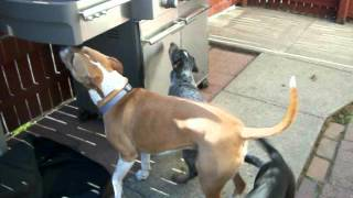 Blue Heeler Playing With Pitbull Terrier Boxer Mix