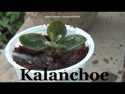 How to Grow Kalanchoe Plant | Care of Kalanchoe | Flowering Plants (Urdu/hindi)