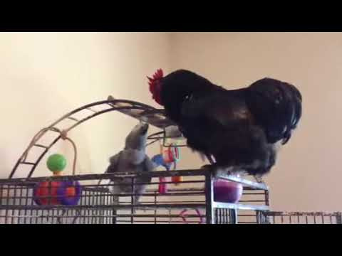 African grey parrot fight Rooster