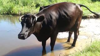 Корова Видео Для Детей Домашние Животные