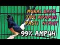 Suara Pancingan Murai Batu Cepat Gacor Siang Malam  Ampuh  Mp3 - Mp4 Download