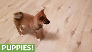 Shiba Inu puppy loses it when owner comes home