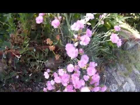 Цветущая садовая розовая гвоздика - красивый многолетник семейства гвоздичных
