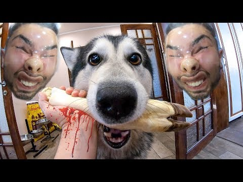 ТРЭШ Пранк над собаками / Хаски в панике