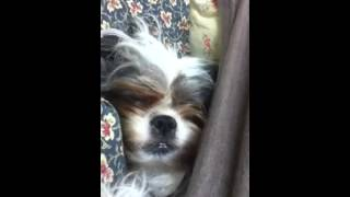 Shih Tzu Or Ewok Caught Napping