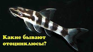 видео Отоцинклюс