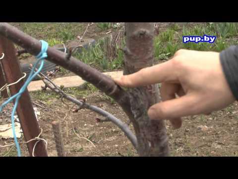 Как заставить дерево плодоносить How to make an apple tree bearing fruit | заплодоносило | урожайность | александр | повысить | плодов | зайцев | дерево | дерева | много | literature