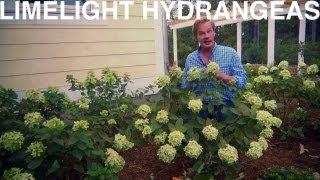 Limelight Hydrangeas | The Garden Home Challenge With P. Allen Smith