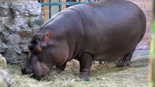 Hippopotamus   The Hippopotamus is a large semi-aquatic mammal that is found wallowing in the rivers