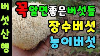 꼭따야할 능이버섯산행과 가을야생버섯 채취시기에 출동