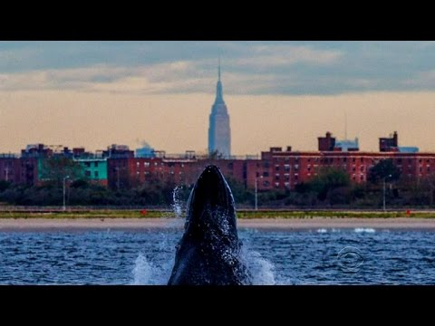 Humpback whales have an appetite for the Big Apple